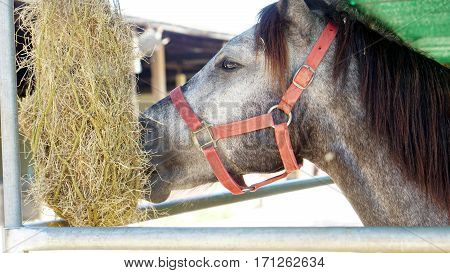 Horses eat some grasses in the stable.
