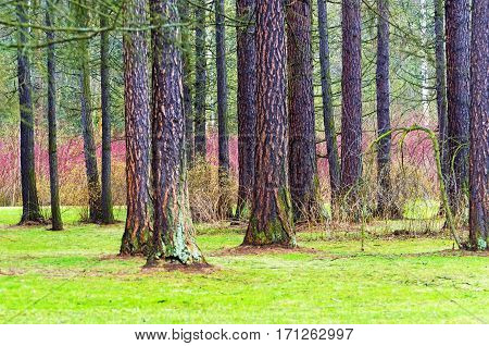 Wood trunks of pine tree bark leaves Glade