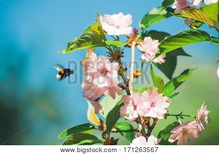 Bee pollinating flowers of cherry in spring garden