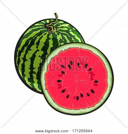 Whole striped watermelon with curled up tail and cut in half, sketch style vector illustration isolated on white background. Realistic hand drawing of whole and half of juicy, ripe watermelon