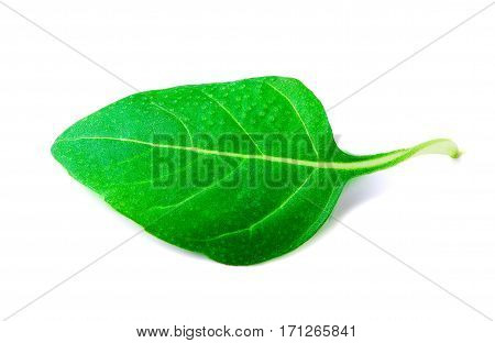 Fresh basil leaf on white background with clipping path.