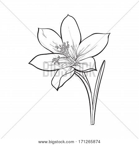 Delicate single crocus spring flower with stem and leaf, sketch style vector illustration isolated on white background. Realistic hand drawing of crocus, first spring flower in vertical position