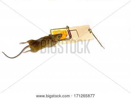 Mouse caught in mousetrap white background isolated