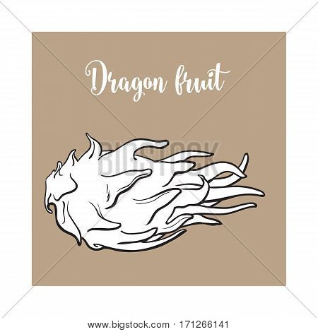 Whole unpeeled, uncut dragon fruit in horizontal position, sketch style vector illustration isolated on brown background. Realistic hand drawing of whole dragon fruit