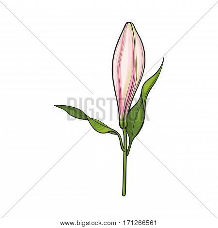 Single hand drawn white lily flower bud with stem and leaves, side view, sketch vector illustration isolated on white background. Realistic hand drawing of closed white lily, bud, wedding flower