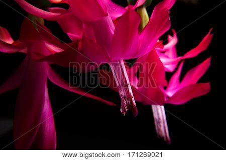 Deep focus of red zygocactus flowers and leaves isolated on a black background