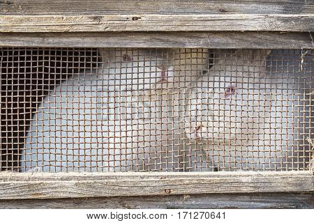 White rabbits in old grunge wooden cage