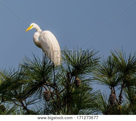 A great white heron looking back as it stands on the top of a tree