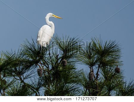A great white heron sitting on a pine tree