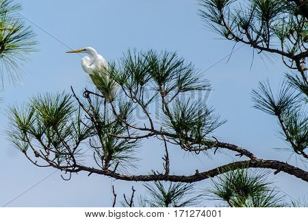 A close up on a great white heron sitting in a pine tree