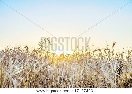 Agricultural background with ripe spikelets of rye in the golden rays of the low summer sun backlight. Beautiful nature sunset. Rural scene with limited depth of field.