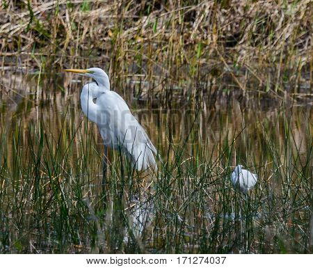 A great white heron and a little blue heron together in a marshy pond