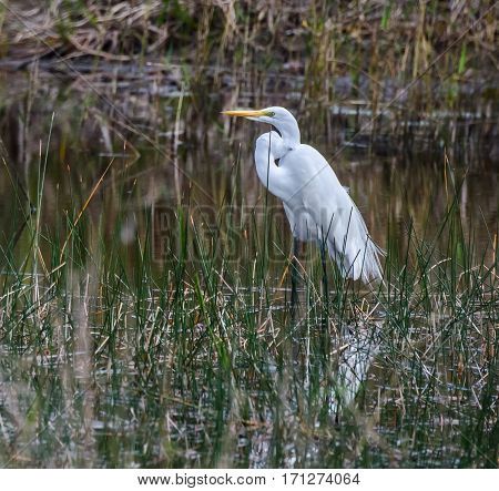 A close up of a great white heron wading in a marshy pond
