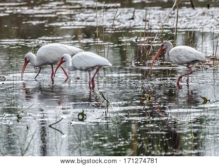 A close up of three white Ibis as they feed wading in a marshy pond