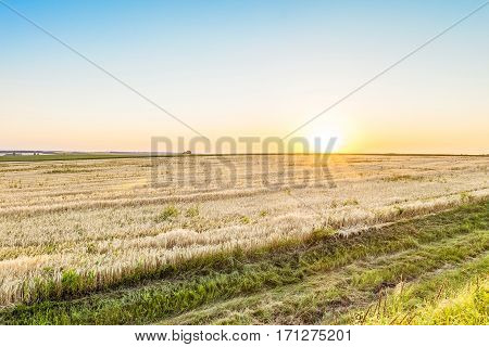 Evening rye field in the low sun. Agricultural landscape in backlit sunlight.