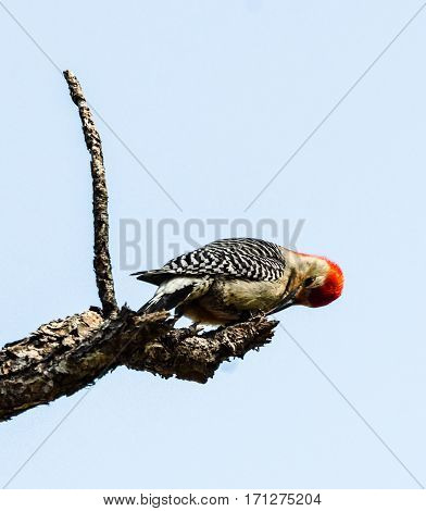 Close up of a  Red Bellied Woodpecker on the end of a tree branch