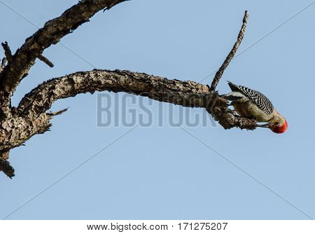 A close up of a Red Bellied Woodpecker on the end of a tree branch feeding