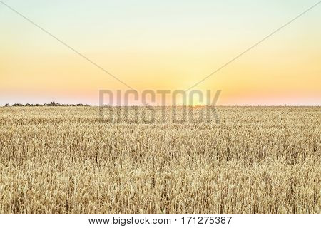 Evening rye field at sunset. Agricultural landscape.