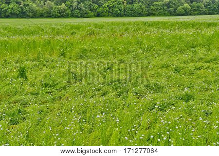 La Neuville Chant d Oisel France - june 22 2016 : flax field destroyed by rain and wind