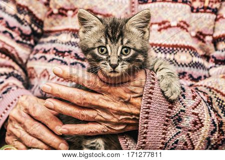Small tabby kitten in the hands of an old woman.