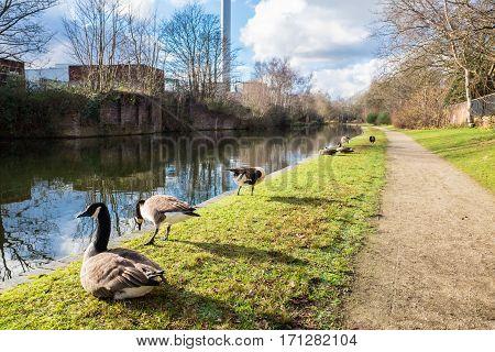 Wild ducks seen at Birmingham Canal side