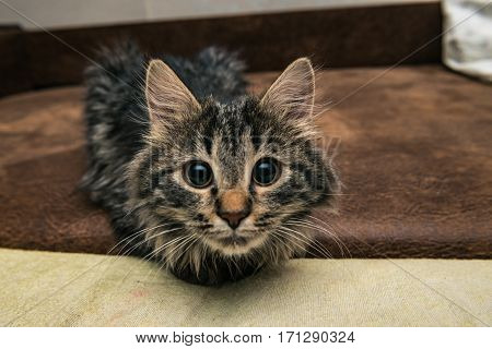 Cute brown tabby kitten investigating room. Baby cat sniff air. Cute fur kitten on bed.