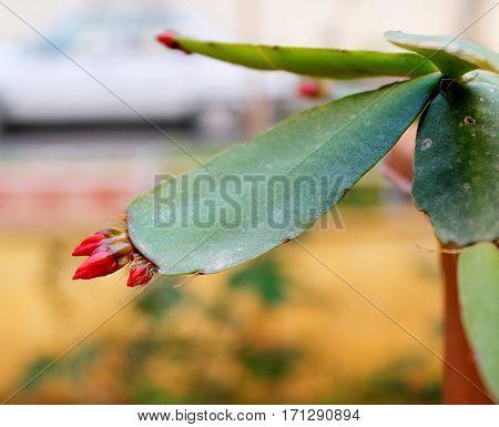 Shhlumbergera buckleyi from epiphytic cactus plant family