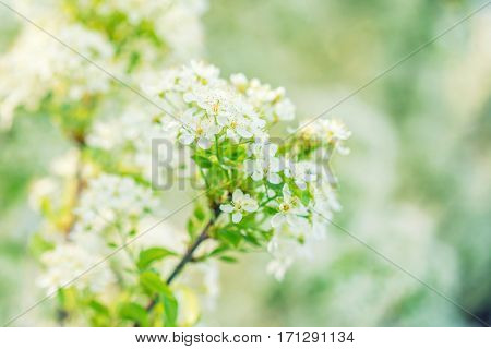Beautiful sping bloom of wild plum flowers