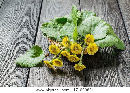 Medicinal plant coltsfoot (Tussilago farfara). The leaves and flowers in a basket on an old wooden table