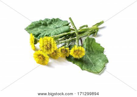 Medicinal plant coltsfoot (Tussilago farfara). The leaves and flowers on a white background