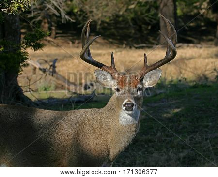 A large whitetail buck during the rut
