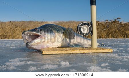 The huge fish and tackle for fishing on the ice. Big zander.