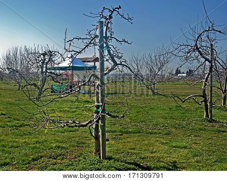 This apple orchard in early spring is pruned in a vertical curved method called