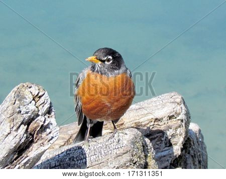 American Robin in Humber Bay Park on a shore of the Lake Ontario in Toronto Canada March 30 2013