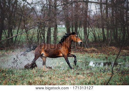 Beautiful bay horse apples with a long mane galloping through the water. Horse runs lifting spray on the background of the spring forest.