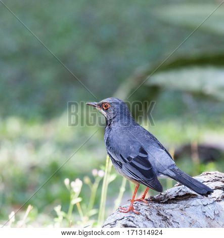 Red-legged Thrush (Turdus plumbeus) perched on a log in Cuba