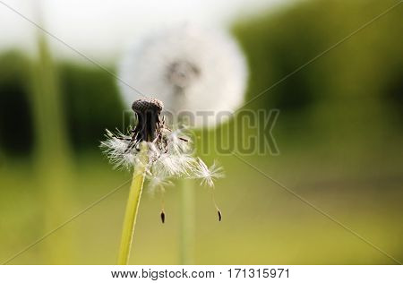 blowed up lone dandelion on a green background