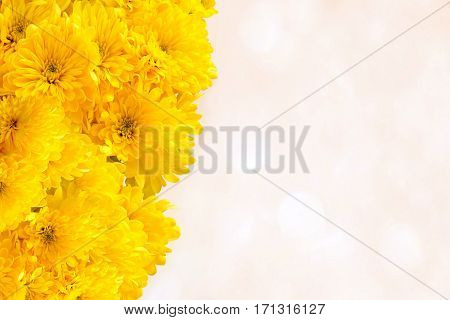 photography with scene of the yellow chrysanthemums on light background