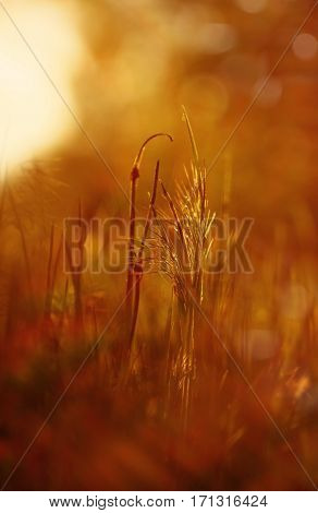 blade of grass in a field at sunset
