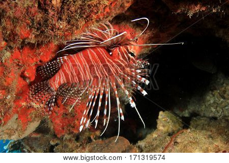 Spotfin Lionfish. Tropical fish on reef