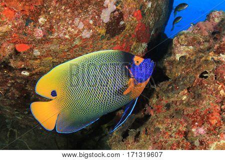 Yellow-mask Angelfish. Tropical reef fish
