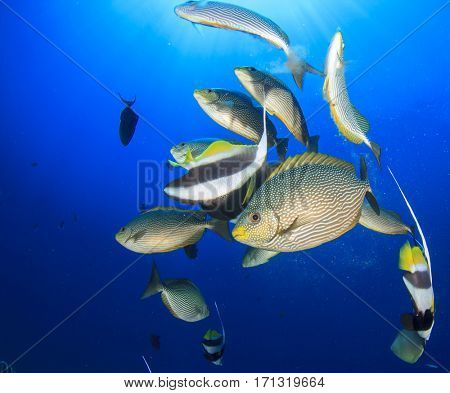Butterflyfish, bannerfish and reef fish eating jellyfish