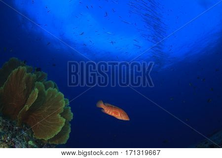 Barracuda fish in Indian Ocean, over tropical coral reef