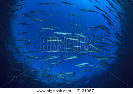 Barracuda fish swim over underwater reef