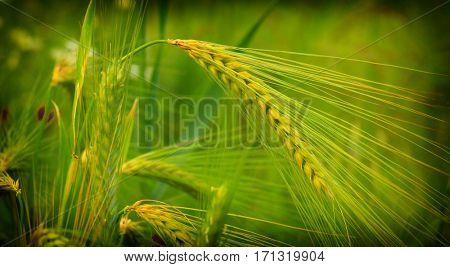 Close up of cereal grain