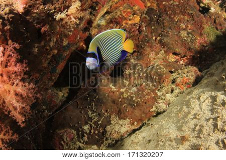 Reef fish underwater. Emperor Angelfish