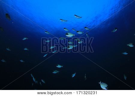 Reef fish underwater
