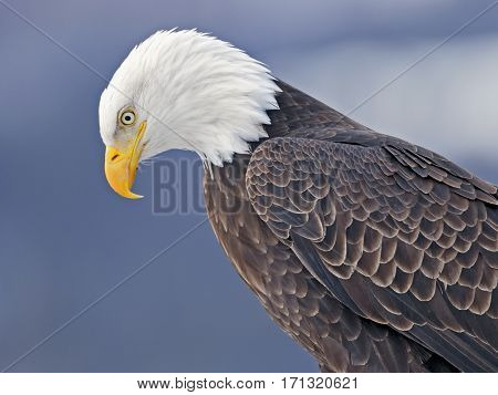 Close up Head shot of mature Bald Eagle watching.