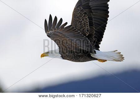 American Bald Eagle in flight in cloudy winter sky