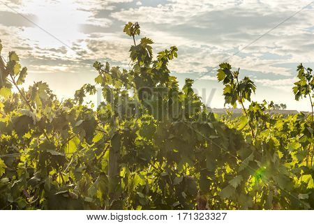 A photo of the sun rising above a vineyard, HDR effect, selective focus